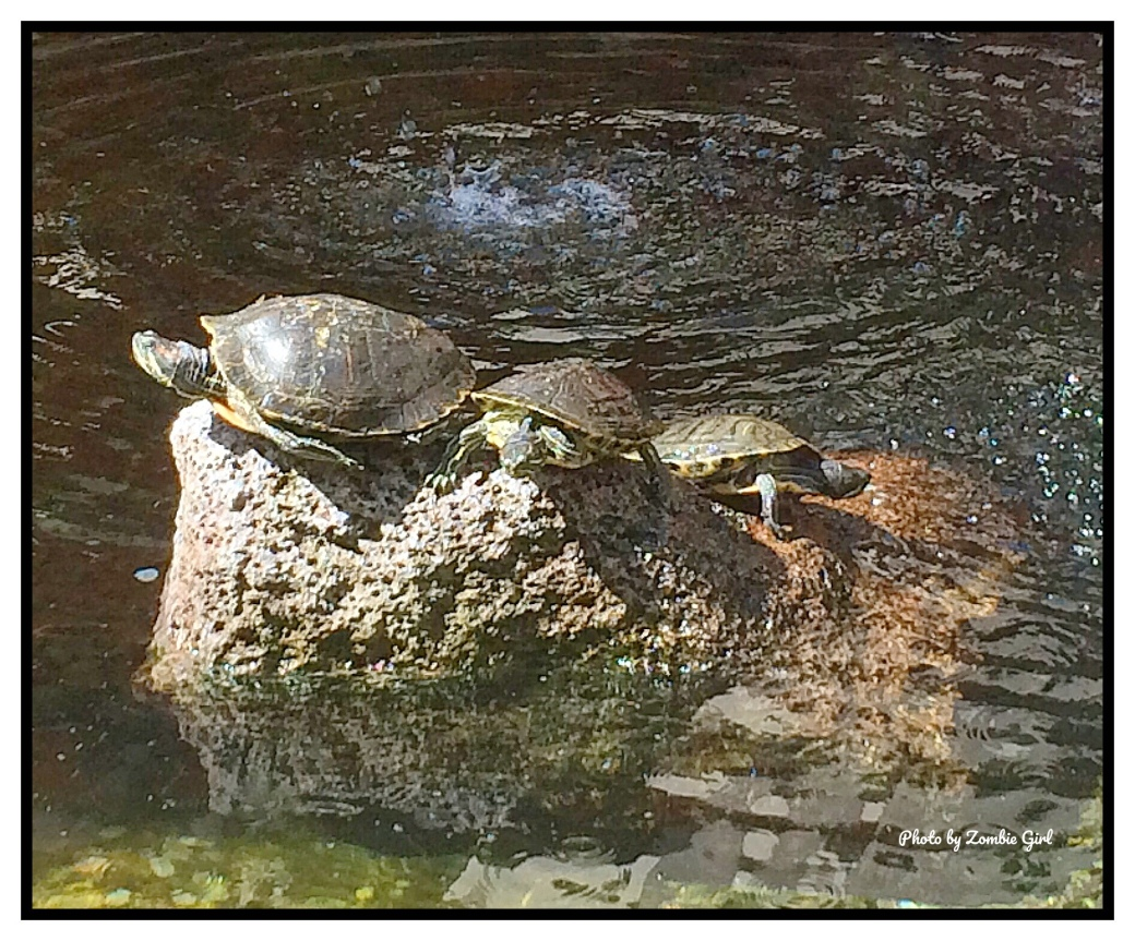 Turtles basking in the hot sun in the centre of the fountain